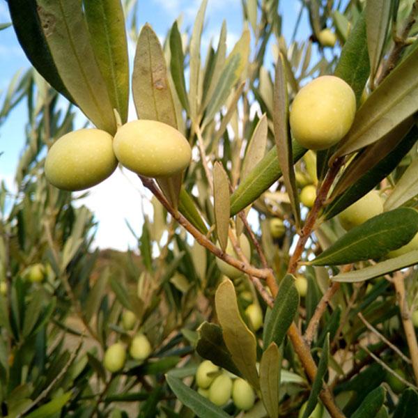 olive-oil-sq